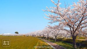 曇川の桜並木(稲美町)