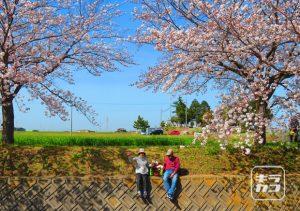 曇川の桜(稲美町)