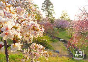 八幡神社夕陽をあびる桜